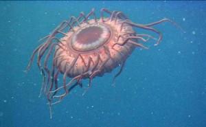 Wenn sie angegriffen wird, wehrt sich die Tiefseequalle Atolla wyvillei mit Lichtblitzen. Sie lebt in einer Tiefe von 800 Metern vor Japan. Foto: Foto: Census of Marine Life/JAMSTEC