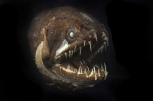 Ein Tiefsee-Bewohner tropischer Regionen ist der Drachenfisch, der durch seinen ganz eigenen chemischen Prozess leuchten kann. Foto: Julian Finn, Museum Victoria, Census for Marine Life
