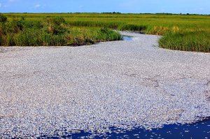"""Doch das Ausmaß des jetzigen Massensterbens ist ungewöhnlich. Auch die Mikroben, die das Öl abbauen, könnten den Sauerstoffgehalt drastisch gesenkt haben, befürchtet Overton. Die Fischereibehörde Louisianas sieht ebenfalls den Sauerstoffmangel als Ursache für das Massensterben. Allerdings sei dieser nicht durch die Ölpest ausgelöst. """"Dieses Gewässer wird vom Wasserzufluss bei Ebbe abgeschnitten"""", sagte eine Sprecherin einem regionalen Fernsehsender am Freitag. """"Bei Ebbe waren die Fische so in dem Gewässer gefangen, ohne Zugang zum Golf, der Sauerstoffvorrat war daher begrenzt, was zum Tod der Fische führte"""""""
